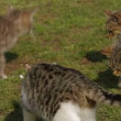 Stock Video: Womtrying to feed tramp cats. Tramp cats