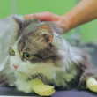Cat shaved at a veterinarian. — Stock Video