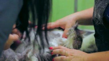 Groomer shaving a cat. Groomer at work. — Stock Video