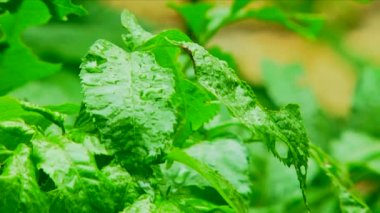 Green leaves in rain. Close-up. Green leaves. — Stock Video
