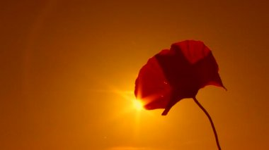 Poppy flower at sunset. Sepia toned image. Poppy. Close-up. — Stock video