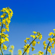Yellow rape field in the springtime — Stock Photo
