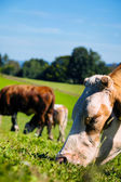 Cow on a pasture — Stock Photo