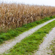 Road next to a corn field — Stock Photo