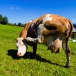 Cow on pasture — Stock Photo #14030216