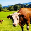 Stock Photo: Happy cows on alpine meadow