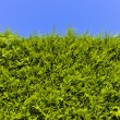 Opaque hedge of arborvitae — Stock Photo