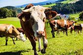 La vaca en un potrero — Foto de Stock