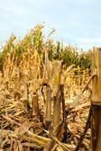 Corn field in autumn — Stock Photo