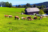 Happy cows on alpine meadow — Stock Photo
