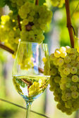 Wine glass in the vineyard — Stock Photo