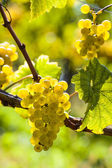 Weintrtauben on the vine in the vineyard — Stock Photo