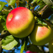 Apples on an apple tree in autumn — Stock Photo