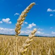 Barley in a field - Stock Photo