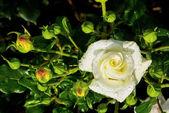 White rose on a rosebush — Stock Photo