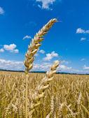 Barley in a field — Stock Photo