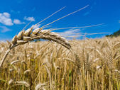 Barley in a field — Stock Photo