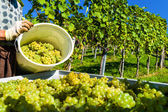 Vendimia en el viñedo — Foto de Stock