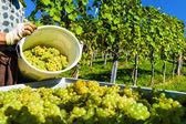 Vintage i vingården — Stockfoto