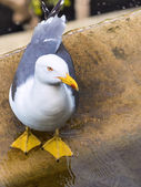 Seagull close — Stock Photo