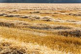 Grain field with wheat — Stock Photo