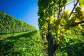 Grapes in the vineyard — Stock Photo