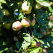 Stock Photo: Apples ripen in tree