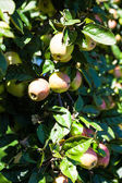 Apples ripen in the tree — Stock Photo