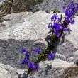 Gentian between rock — Stock Photo #38337815