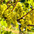 Grapes in the vineyard — Stock Photo #38338465