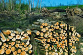 Trees in a forest were recut — Stock Photo