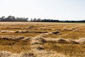 Grain field with wheat — Stock Photo