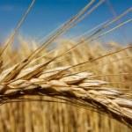 Wheat field — Stock Photo #38802603