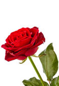Red rose. sign of love — Stock Photo