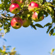 Stock Photo: Apples in fall on apple tree