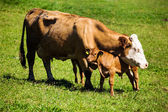 Dairy cows on summer pasture — Stock Photo
