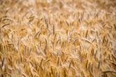 夏の穀物フィールド — ストック写真