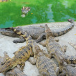 Thailand, Pattaya, crocodile farm — Stock Photo #18558403
