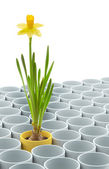 Yellow narcissus flower and flowerpot set — Stock Photo