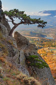 Mountain pine on the cliff and autumn valley as background — Stock Photo