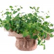 Fresh oregano — Stock Photo #37816527