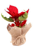 Poinsettia in bag — Стоковое фото
