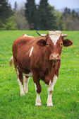 Cow in an green meadow — Stock Photo