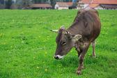 Koe in een groene weide — Stockfoto