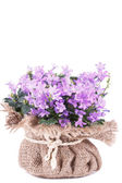 Campanula purple flowers — Stock Photo