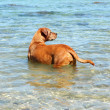 Dog in water — Stock Photo #20217483