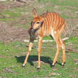 Stock Photo: Little antelope Kudu