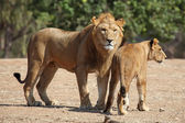 Lion and lioness — Stock Photo