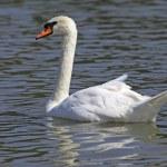 Beautiful white swan — Stock Photo #22843880