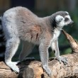 Royalty-Free Stock Photo: (Lemur catta